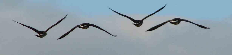 Geese in Flight Pattern!